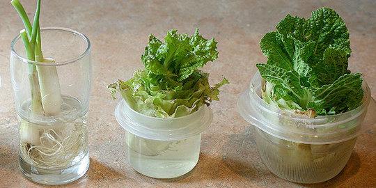 Berkebun Sayuran Hanya dengan Air