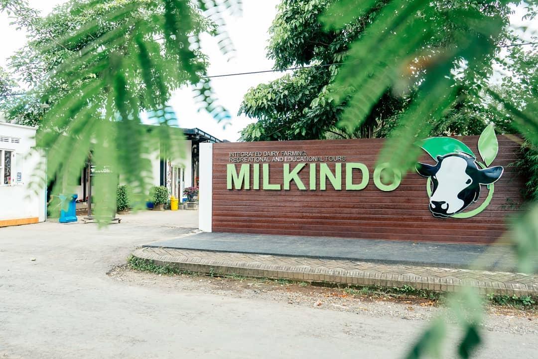 Milkindo, Wisata Edukasi Peternakan Sapi perah Di Malang
