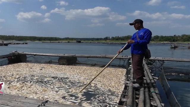 Gagal Panen Ikan Karena Banjir, Pembudidaya Cairkan Asuransi Rp62,5 Juta.