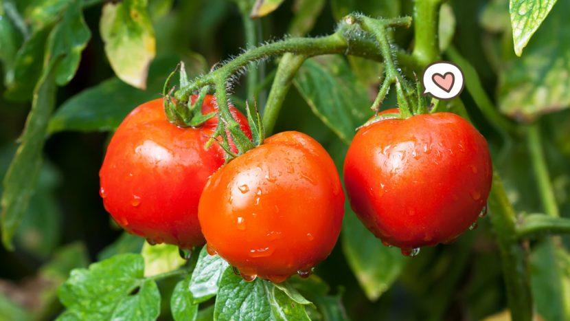 Cara Menanam Tomat di Pot Mudah Tidak Perlu Halaman yang Luas